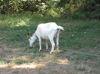 goat-2.jpg