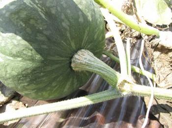 pumpkin_160817_11.jpg