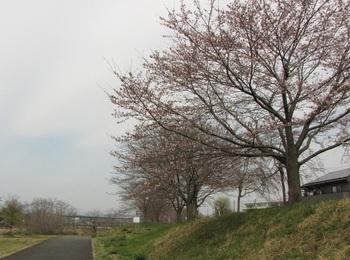 sakura-iwasawa_160330.jpg