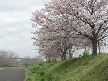 sakura-iwasawa_160403.jpg