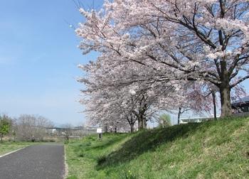 sakura-iwasawa_160406-1.jpg