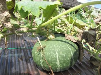 pumpkin_160817_13.jpg