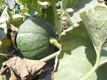 pumpkin_160817_15.jpg