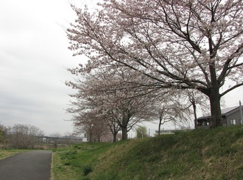 sakura-iwasawa_160401.jpg