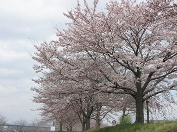 sakura-iwasawa_160403-4.jpg