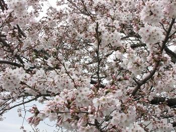sakura-iwasawa_160403-5.jpg